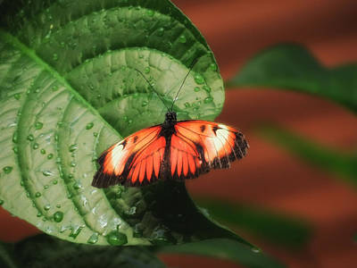 Photograph - Leaf With Wings - Butterfly by MTBobbins Photography