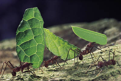 Atta Photograph - Leafcutter Ant Atta Cephalotes Workers by Mark Moffett