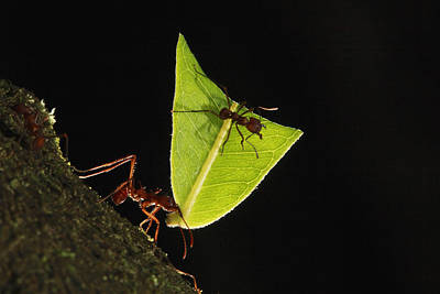 Atta Photograph - Leafcutter Ant Atta Sp Carrying Leaf by Cyril Ruoso