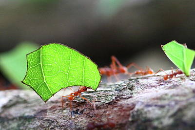 Photograph - Leafcutter Ant by Bruce J Robinson