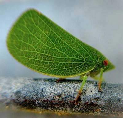Photograph - Leafhopper by Bruce Carpenter