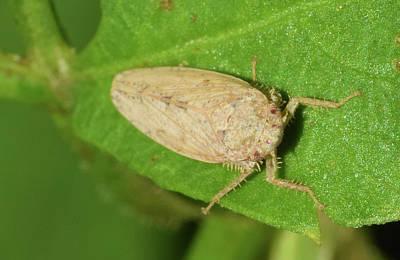 Photograph - Leafhopper by Larah McElroy
