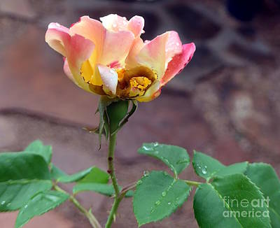 Photograph - Leafhopper Rose Blossom by Marlene Rose Besso