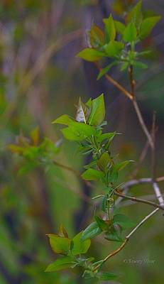 Photograph - Leafy Lilac Branches by Tracey Vivar
