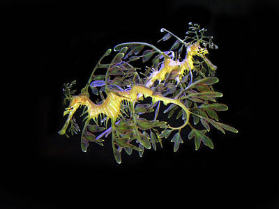 Leafy Sea Dragon Photograph - Leafy Sea Dragons by Anthony Jones