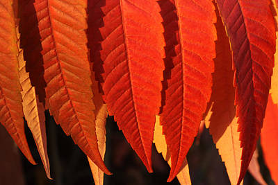 Sumac Photograph - Leafy Valance by Connie Handscomb