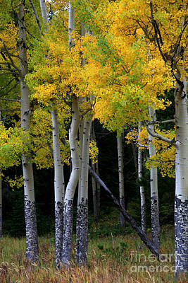 Photograph - Leaning Aspen by Timothy Johnson
