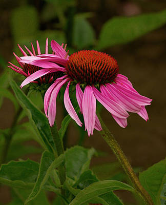 Photograph - Leaning Echinacea  by Jean Noren