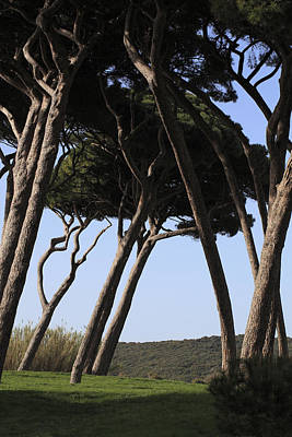 Suggestive Photograph - Leaning Pine Trees by Stefania Levi