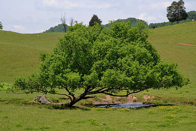 Photograph - Leaning Tree - Pasture by rd Erickson