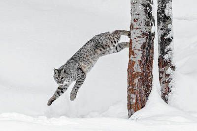 Photograph - Leapin Bobcat by Wes and Dotty Weber