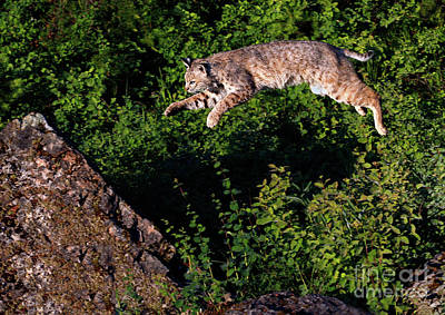 Photograph - Leaping Bobcat by Art Cole