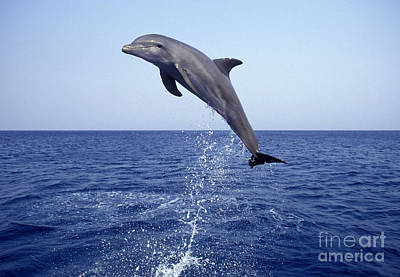 Photograph - Leaping Bottlenose Dolphin by Francois Gohier