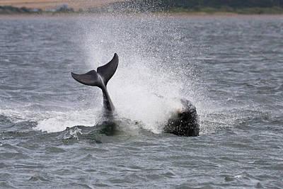 Photograph - Leaping Bottlenose Dolphins - Scotland  #31 by Karen Van Der Zijden