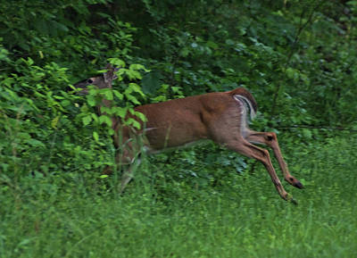 Photograph - Leaping Deer by Rick Friedle