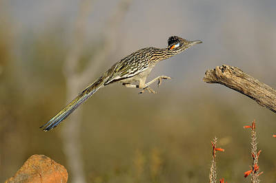 Action Photograph - Leaping Roadrunner by Scott  Linstead
