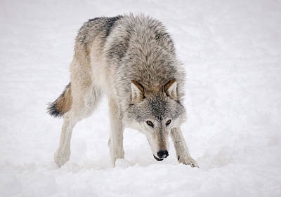 Photograph - Leary Wolf Style by Athena Mckinzie