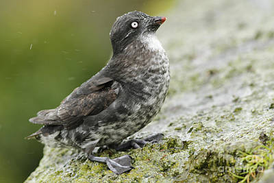 Auklets Photograph - Least Auklet by Desmond Dugan/FLPA
