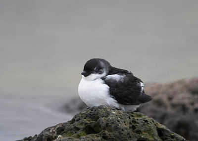 Auklets Photograph - Least Auklet by Tom Ingram