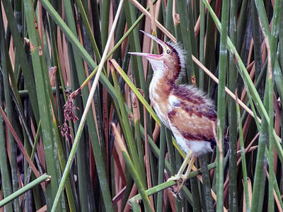 Photograph - Least Bittern 2560-081618-1cr by Tam Ryan