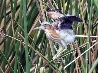 Photograph - Least Bittern 2588-081618-1cr by Tam Ryan
