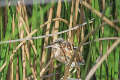 Photograph - Least Bittern 3902 by Tam Ryan