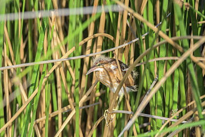 Photograph - Least Bittern 3917 by Tam Ryan