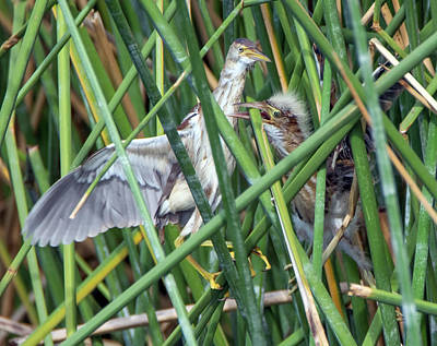 Photograph - Least Bittern Adult And Juvenile 2444-081118-1cr by Tam Ryan