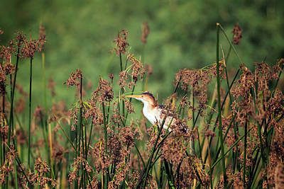 Photograph - Least Bittern Adult Male 3940 by Tam Ryan