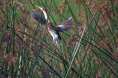 Photograph - Least Bittern Adult Male 3949 by Tam Ryan