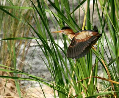 Photograph - Least Bittern In Flight by Myrna Bradshaw