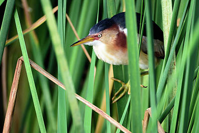 Photograph - Least Bittern In Hiding by Debra Martz