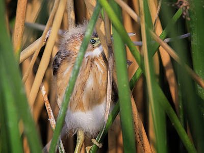 Photograph - Least Bittern Juvenile 3669 by Tam Ryan