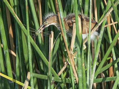 Photograph - Least Bittern Juvenile With Dragonfly 2625-081718-cr by Tam Ryan