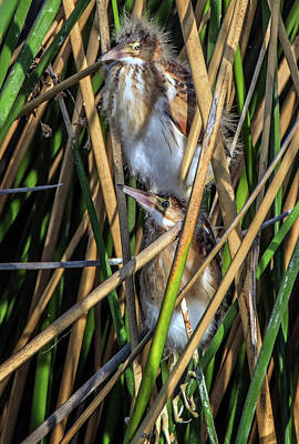 Photograph - Least Bittern Juveniles 3663 by Tam Ryan