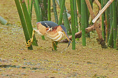 Photograph - Least Bittern With Fish by Alan Lenk