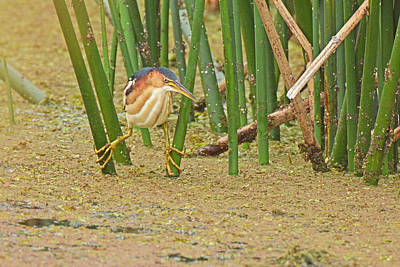 Photograph - Least Bittern With Large Feet by Alan Lenk
