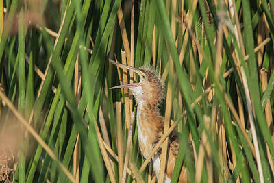 Photograph - Least Bittern Yawn 3860 by Tam Ryan
