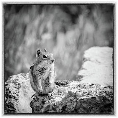 Photograph - Least Chipmunk On The Rocks by Debra Martz