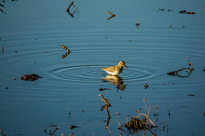 Photograph - Least Sandpiper by Randy Herring