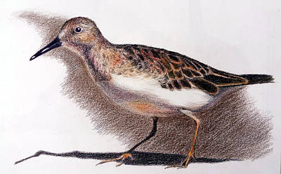 Sandpiper Drawing - Least Sandpiper by Susan Conner