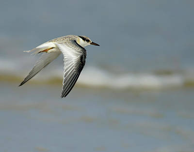 Photograph - Least Tern by Carol Eade