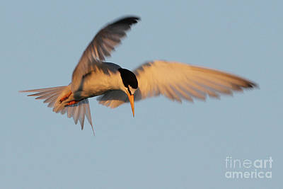 Photograph - Least Tern Fishing by Meg Rousher