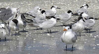 Photograph - Least Terns by Melinda Saminski