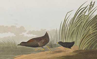 Least Water Hen Art Print by John James Audubon