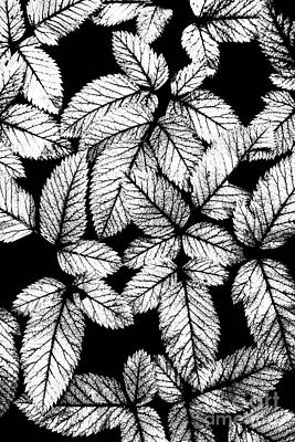 Photograph - Leaves Bw by Dan Carmichael