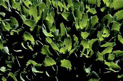 Photograph - Leaves Illumined  by Tim Good