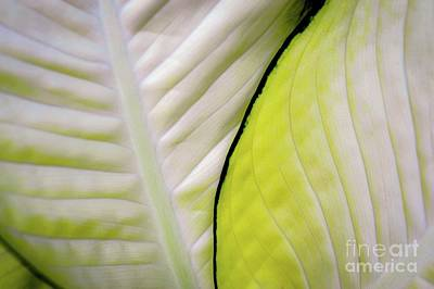 Photograph - Leaves In White by D Davila