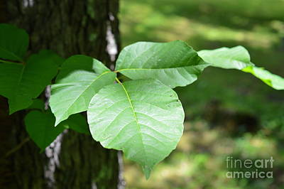 Photograph - Leaves Of Three Let It Be by Lew Davis