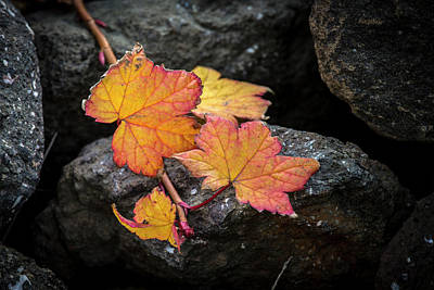 Photograph - Leaves On Rocks by Hitendra SINKAR